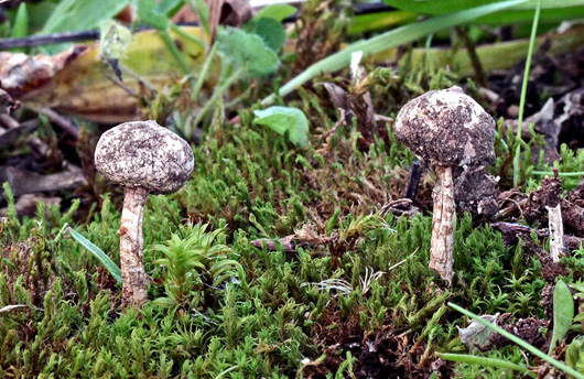 two fungi growing in mossy ground