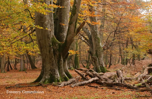 Ancient trees in british autumn woodland scene