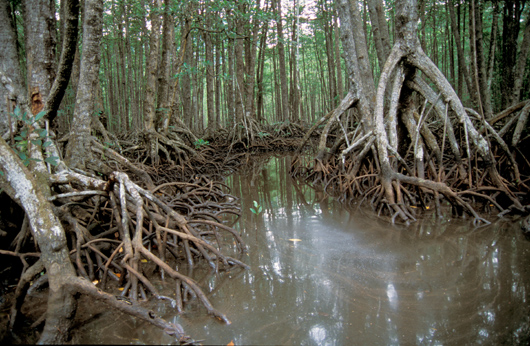 Mangrove swamp in the Philippines