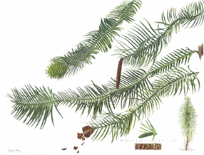 Painting of the rare Wollemi Pine