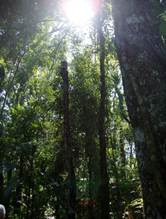 sunlight pouring through trees in rainforest