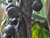 seeds of Coco-de-mer palm tree hanging off the tree