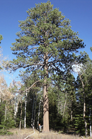 Picture of ancient ponderosa pine with tiny figure next to it