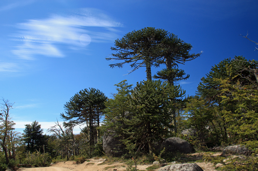 auracaria auracana in chile