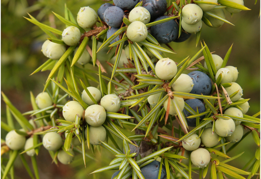 juniper berries on branch by andrew gagg