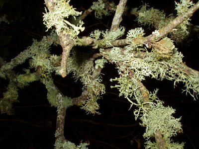 lichen-british-woodland