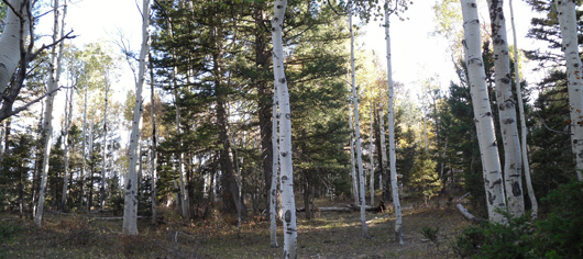 Panoramic view of aspen forest