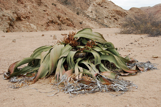 Picture of giant ancient Welwitschia plant in Namibia