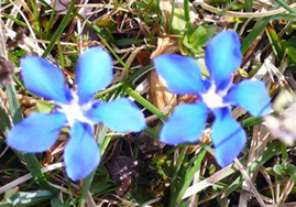 bright blue gentian flowers