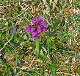purple orchid sitting in grass on the burren