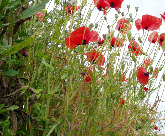 poppies blooming in hedgerow