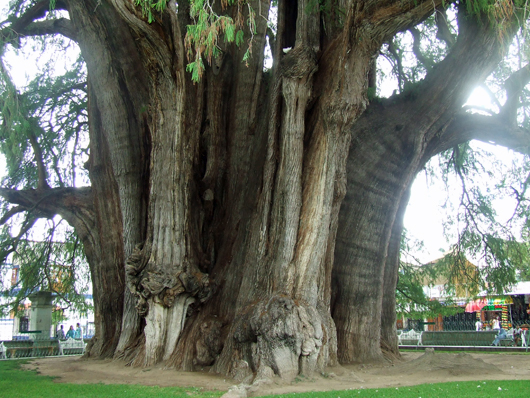 trunk of giant cypress tree in town square