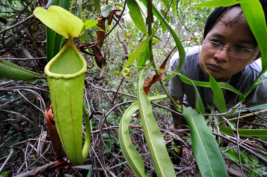 Pithcer plant in foreground with person inspecting it in background