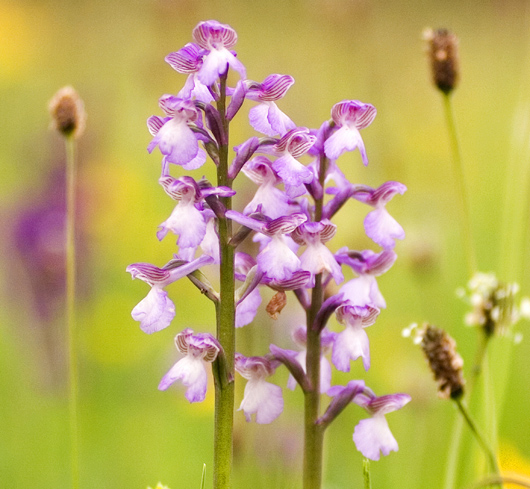 close up of green-winged orchid