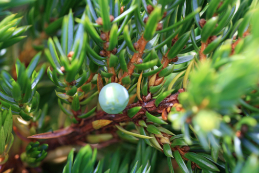 close up of juniper berry
