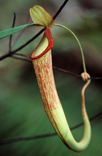 large pitcher plant from cambodia