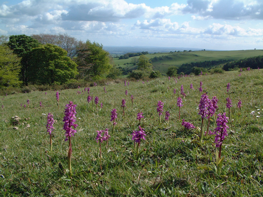view over fields with orchids emerging through the long grass