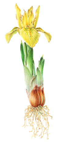 Painting of a yellow Iris