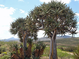 Quiver Trees in Namaqualand by Jane Knight