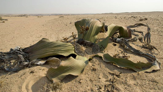 low plant with thick leaves growing in a barren desert