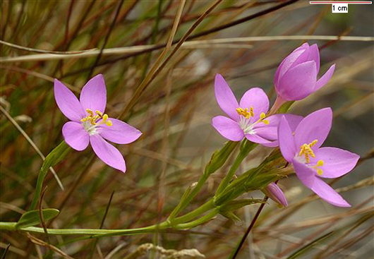 The pink flowers of Perennial Centaury