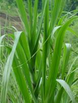 grass used in the making of tapyo