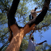 cork harvesting small