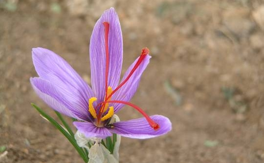 Saffron crocus showing the valuable red stigma
