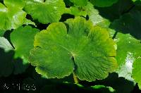 floating pennywort close-up