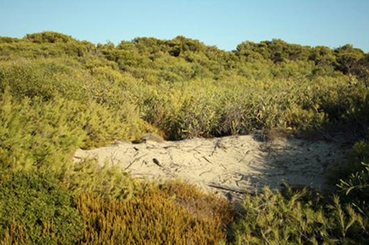 Dune system covered in Acacia plants