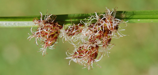 close up shot of sedge flower